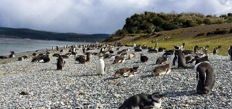 pinguins ushuaia no verão