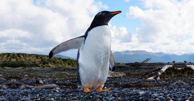 pinguim em ushuaia - Isla Martillo