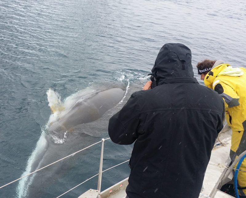 baleia-minke - Baleia no Canal Lemaire Antártida